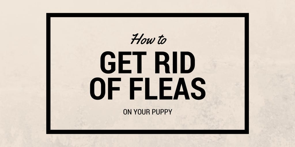 How to get rid of fleas on your puppy