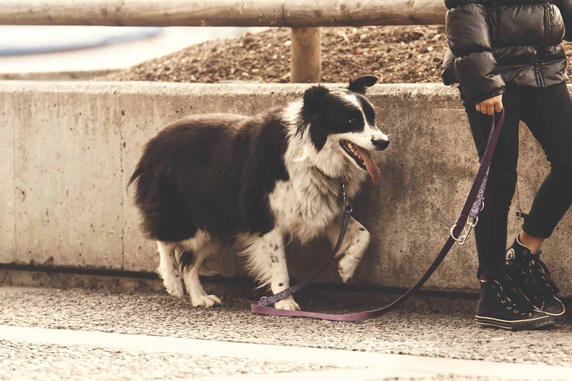 Loose Leash Dog Walking Training