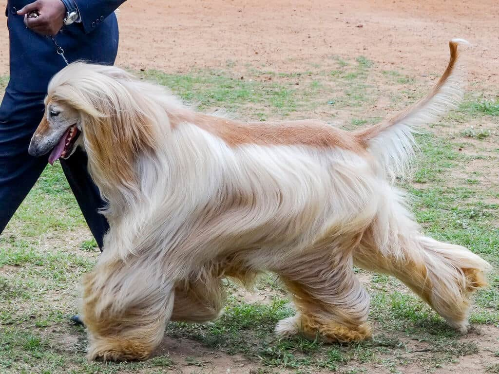Extra Large Dog Breeds Long Hair