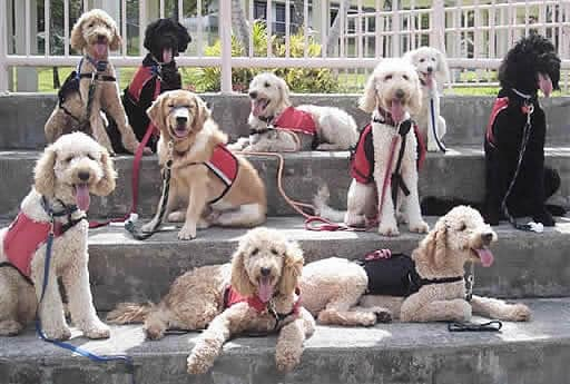 Labradoodle Assistance_Dogs