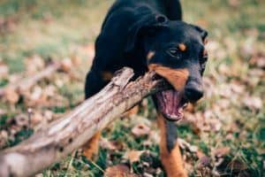 raw paws bully sticks review an all natural rawhide chew. Black Bedroom Furniture Sets. Home Design Ideas