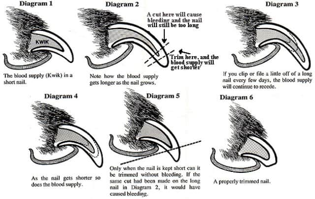 Dog nail anatomy Diagram