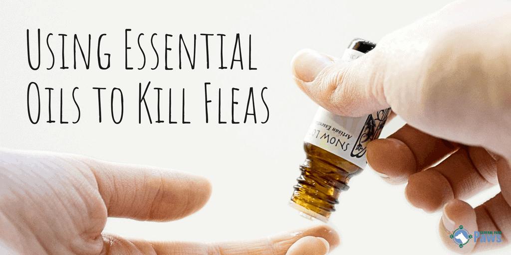 Using Essential Oils to Kill Fleas