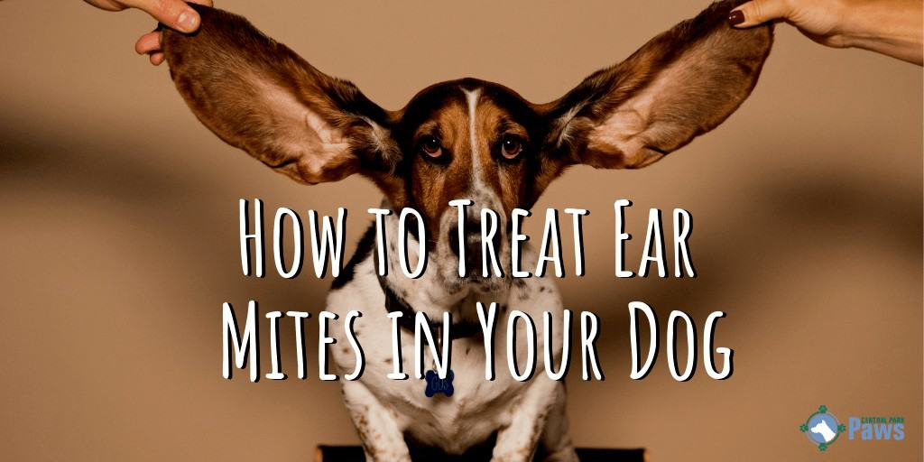 How to Treat Ear Mites in Your Dog