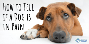 How to Tell if a Dog is in Pain