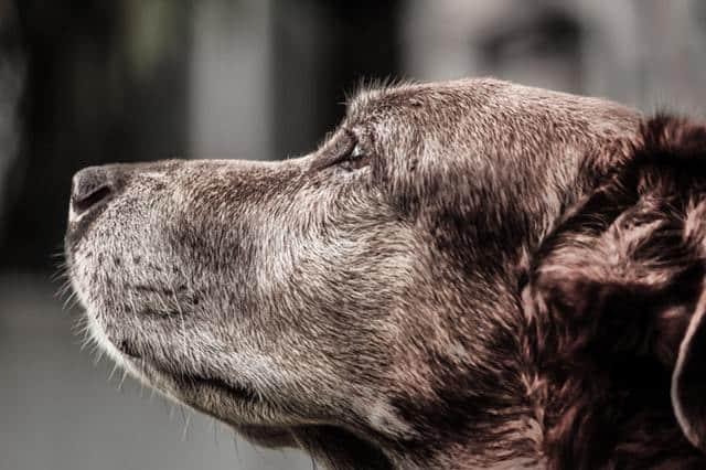 Senior dog graying greying fur changes color old age what to feed
