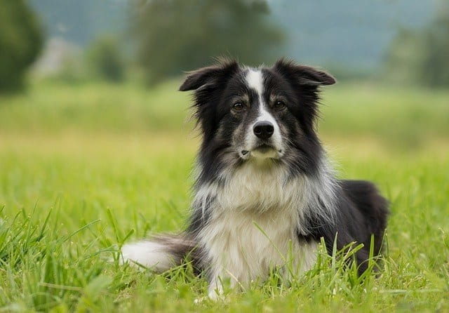 chewable flea medication allergy sensitivity side effects border collie sheep dog Milbemycin