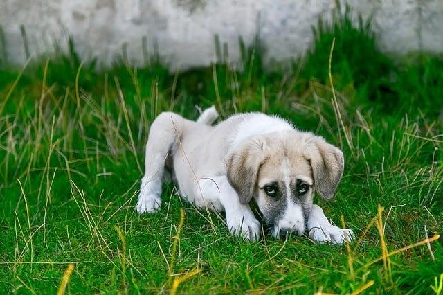 sick puppy lethargic low energy sad Canine Parainfluenza Distemper Parvovirus
