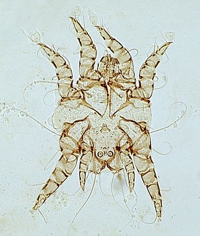 what is Otodectes ear mite dog insect bug arachnid arthropod