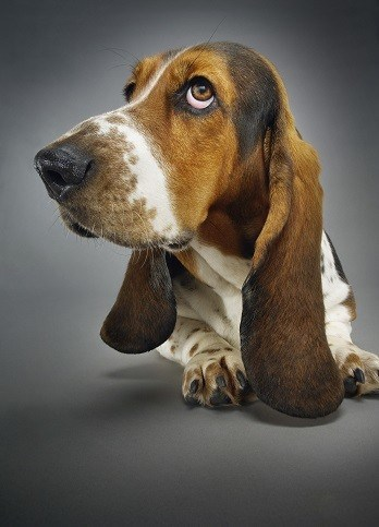which dog breeds get ear infections at risk beagle basset hound cocker spaniel retriever