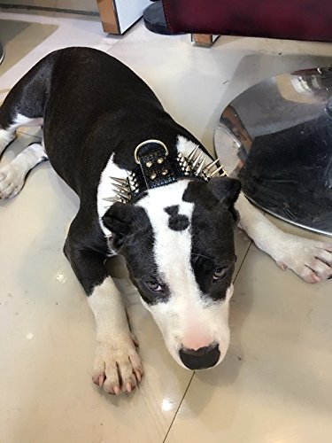 teenager puppy adolescence punk goth dog spiked studded collar