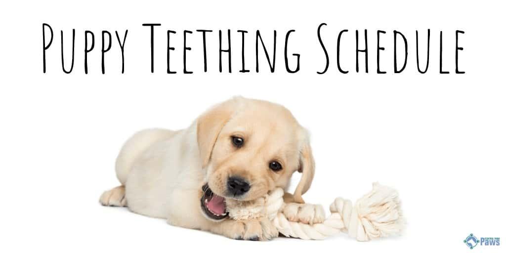 Puppy Teething Schedule