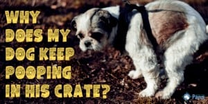 Why Does My Dog Keep Pooping in his Crate?