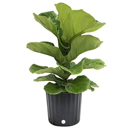Ficus Lyrata Fiddle Leaf Fig Tree next to dog crate location safe poisonous plants