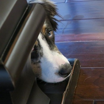 Dog look guilty stress response can lead to pooping inside house