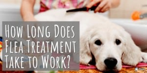How Long Does Flea Treatment Take to Work - Pills, Tablets, Collars, and Drops (Topical)
