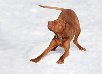 Hungarian Vizsla high energy dog breed cannot be crated for too long at work