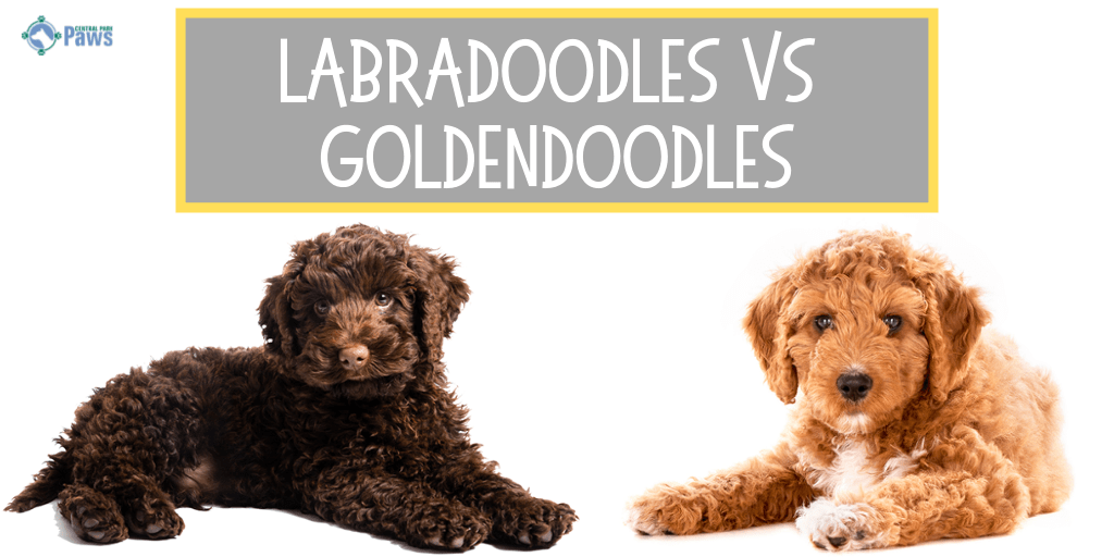 Labradoodles Vs Goldendoodles Which Breed Is Better