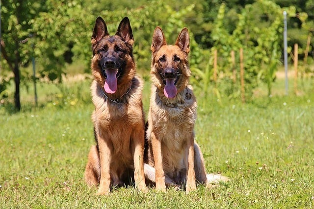 Male and female German Shepherd height weight differences chart age
