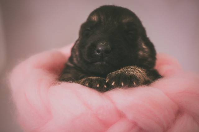 Newborn German Shepherd puppy healthy weight size growing period