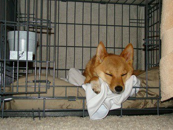 Taro the Shiba Inu sleeps in crate for long time during night after day is over