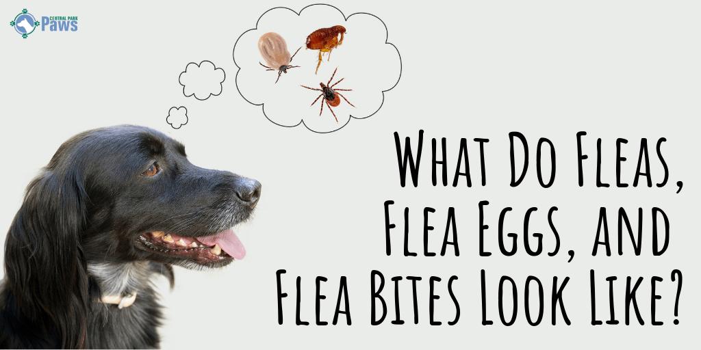 What Do Fleas, Flea Eggs, and Flea Bites Look Like_