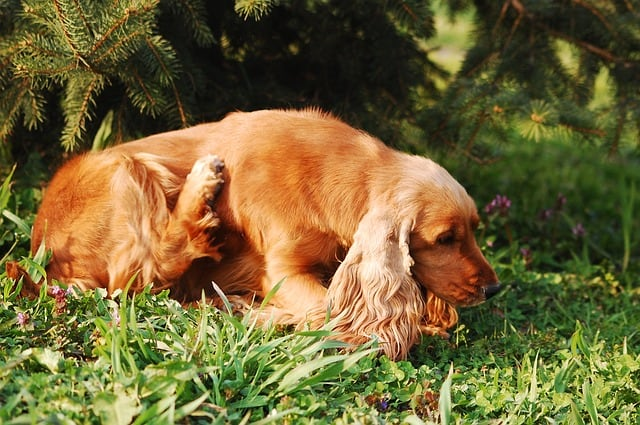 Flea infested itchy dog scratching why choose dog collar