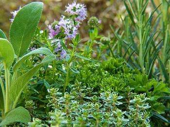keep fleas away with plants catnip mint rosemary sage herb garden
