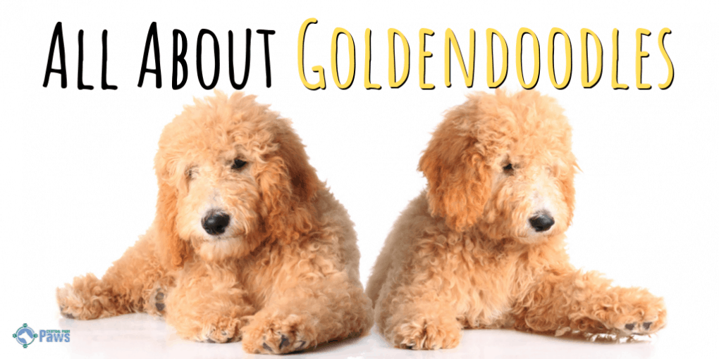 Everything You Want To Know About The Goldendoodle Breed