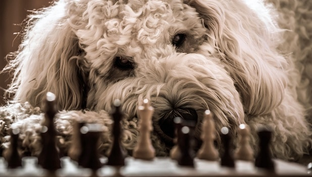 Are goldendoodles smart dogs can they learn quirkly easy to teach