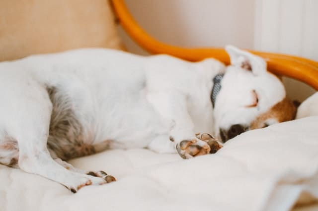 Calm sleeping dog relieved after successful anxiety treatment with essential oils or alternative treatments