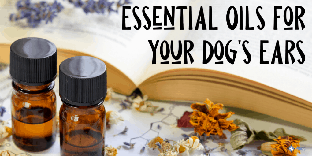Essential Oils for Your Dog's Ears_ Cleaning, Care, and Treating Infections and Ear Mites