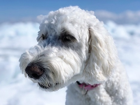 Goldendoodle coat color fur type styles flat curly wavy straight red apricot cream
