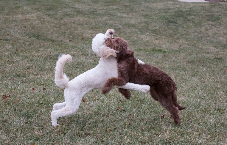 Goldendoodle left labradoodle right breed comparison physical differences