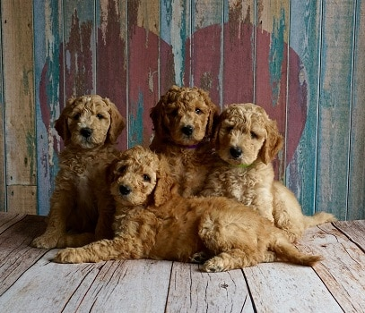 Goldendoodle litter how expensive where to buy puppy breeder price