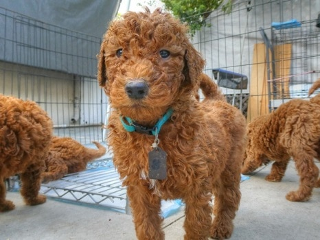 Goldendoodle puppies hyper calm down what age how big fast do they grow
