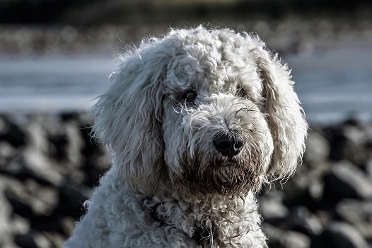 Groodle Teddy Bear English double doodle alternate other breed names goldendoodle