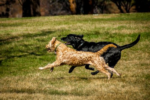 Labradoodle labrador how much exercise required for breed to be healthy