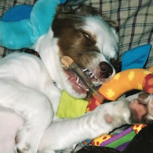 Daisy chewing on Petstages teething ring nylabone puppy chew toy recommendations