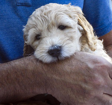 Puppy chewing how to stop unwanted behavior mouthing nipping biting