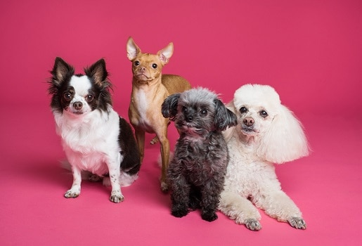 Puppy different development stages depends on breed size more