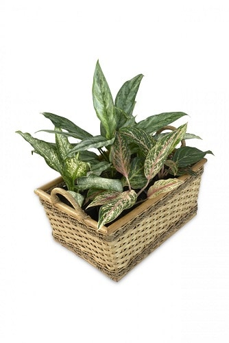 Puppy proof house hazardous toxic house plants list dieffenbachia