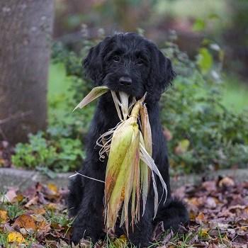 Best dog food ingredients for canine hypothyroidism superfoods meat fiber