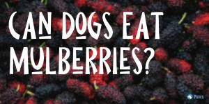 Can Dogs Eat Mulberries?