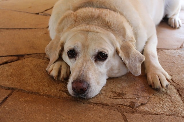 Jasmine rice health issues for dogs can you feed to overweight diabetic puppies