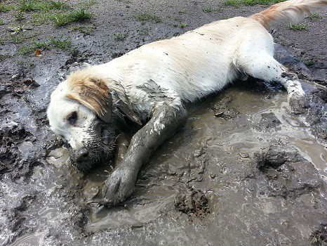 Muddy dog in house how to wash outdoor kennel keep clean