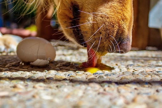 Are eggshells good for dogs supplement nutrients calcium boost health