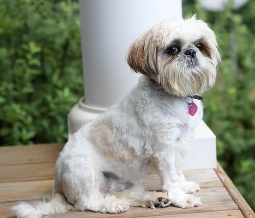Which dog breeds get UTIs shih tzu yorkshire terrier bichon frise females