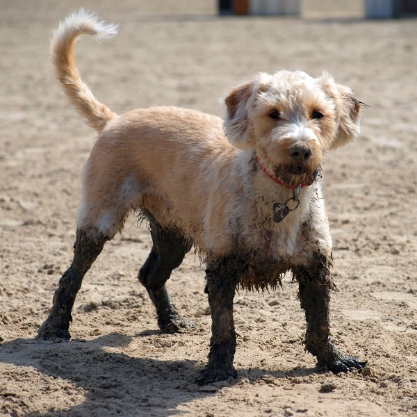 Why do dogs get UTIs causes bacteria how to prevent infections
