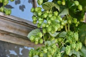 Are hops safe for dogs to eat beer IPA pale ales dangerous